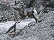 Chinstrap Penguins leaping onto Rocks, Elephant Island, Antarctic Peninsula