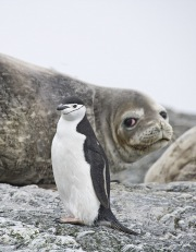 Chinstrap Penguin and Elephant Seal, Gold Beach, South Georgia Island