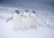Three Adelie Penguins in snow, Paulet Island, Antarctica