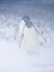 Two Adelie Penguins in snow, Paulet Island, Antarctica