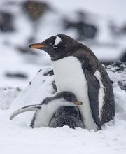 Gentoo Penguin and chicks in snow, Paulet Island, Antactica