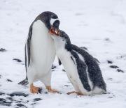 Gentoo penguin feeding chick, Paulet Island, Antacrtica