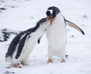 Gentoo Penguin feeding chick, Paulet Island, Antarctica