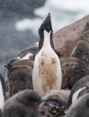 Adelie adult penguin calling in front of chicks, Paulet Island, Antarctica