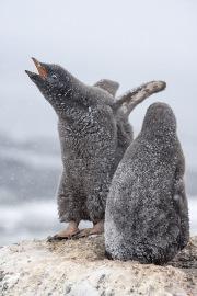 Two Adelie Penguin chicks in snow, Paulet Island, Antarctica
