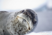 Close up of Leopard Seal on iceberg, Paradise Cove, Antarctica