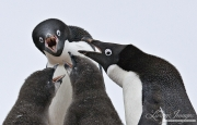 Adelie Penguin adults and chicks, Paulet Island, Antarctica