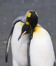 Mating Pair of King penguins, Gold Beach, South Georgia Island