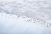 Chinstrap Penguin colony on iceberg, South Orkney Islands