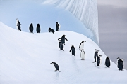 Chinstrap Penguins on Iceberg, South Orkney Islands