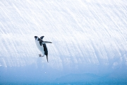 Chinstrap Penguin falling off iceberg, South Orkney Islands