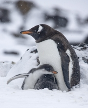 Gentoo Penguin and chicks in snow, Paulet Island, Antactica
