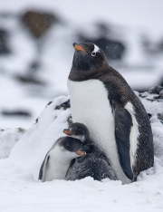 Gentoo penguin and two chicks in snow, Paulet Island, Antarctica