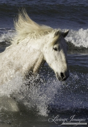 Camargue Horse, Camargue, France, white horse, water, the sea, waves