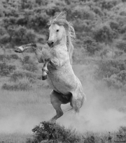 fineart-229-WildGreyRearing