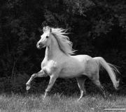 fineart-258-WhiteStallionRunsAgainsttheForest