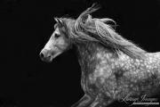 fineart-304-AndalusianStallionComesOutoftheDarkIII