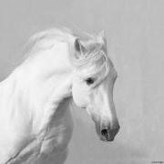 fineart-215-WhiteStallionRunsBy