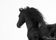 fineart-234-Black StallionsManeRipples