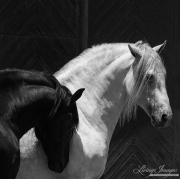 fineart-258-BlackandWhiteStallions