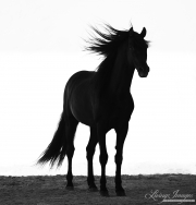 fineart-265-StallionsSilhouette
