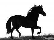 fineart-267-StallionsSilhouetteII