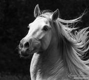fineart-273-StallionsLongMane