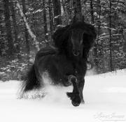 fineart-281-SnowyFriesianComesForward