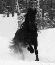 fineart-283-SnowyFriesianRunning