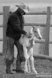 Sombrero Ranch, Craig, CO, cowboy steadying newborn foal