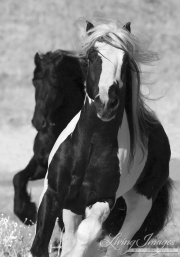 Ojai, CA, purebred horse, Gypsy Vanner and Friesian stallions run