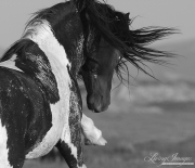 wild horse, mustang in McCullough Peaks, WY - black pinto stallion strikes