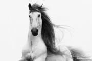 fineart-005-StallionsGlory
