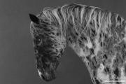 fineart-015-LeopardAppaloosaLowersHisHead