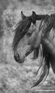 Mustang at Return to Freedom Sanctuary in Lompoc, CA, stallion's head