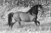 red dun mustang stallion at Return to Freedom Sanctuary in Lompoc, CA