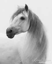 fineart-028-WhiteStallionTurns