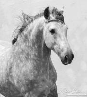 Ejicia, Spain, purebred Andalusians, grey stallion runs