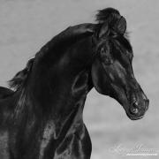 Ojai, California, Black Andalusian stallion running
