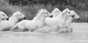 fineart-154-WhiteHorsesRuninthePond