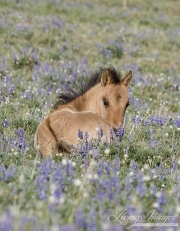 Wild horses, mustangs, in Pryor Mountains, MT - foal lying in lupine and larkspur