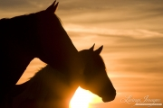 wild horse, mustang in McCullough Peaks, WY - mare and foal at sunrise