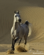 fineartcolor-097-DesertStallionRunsFree
