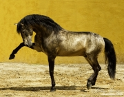 fineartcolor-163-LusitanoStallion