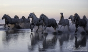 fineartcolor-237-CamargueHorsesRunIntotheSunset