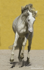fineartcolor-249-CremelloStallionLeapsII