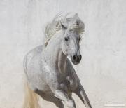 fineartcolor-262-WhiteStallionRunsUp
