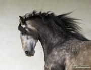 fineartcolor-170-GreyStallionRuns