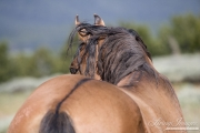 wild horse - dun stallion, Pryor Mountains, MT