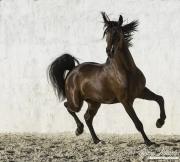 fineartcolor-250-StallionsHappyDance